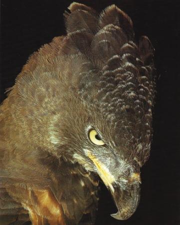 Aigle blanchard1