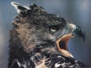 Tête d'aigle blanchard vu de côté, cri