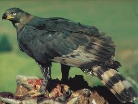 Aigle blanchard posé sur une proie, mange
