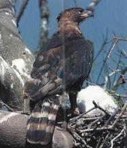 Aigle blanchard4