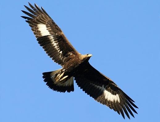 Aigle impérial en vol, vu de dessous