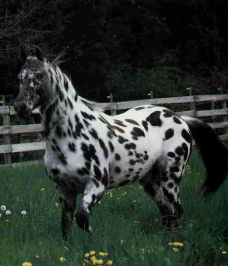 Appaloosa léopard4