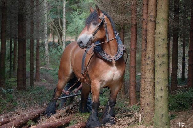 Cheval ardennais en travaux agricoles, forêt