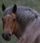 Cheval ardennais de face