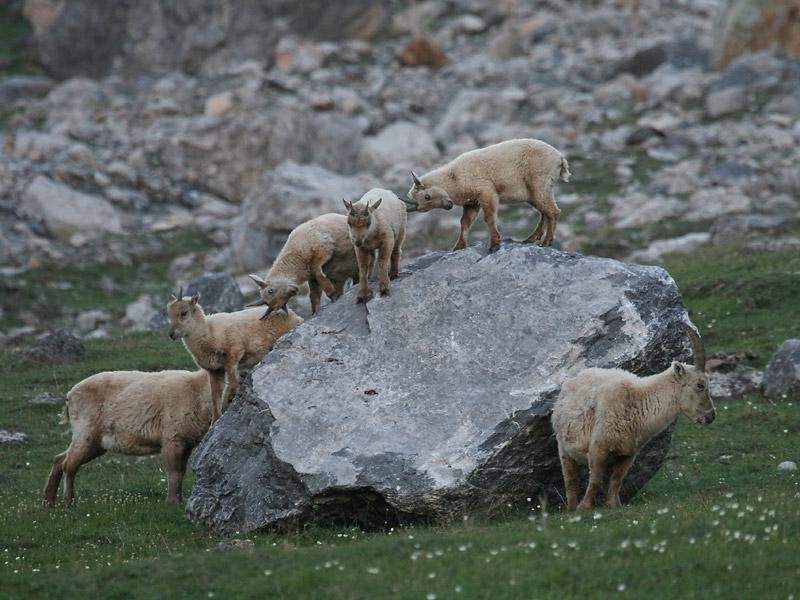 Jeunes bouquetins des Alpes sur rocher