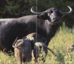 Buffle de l'Inde femelle avec ses veaux dans une prairie