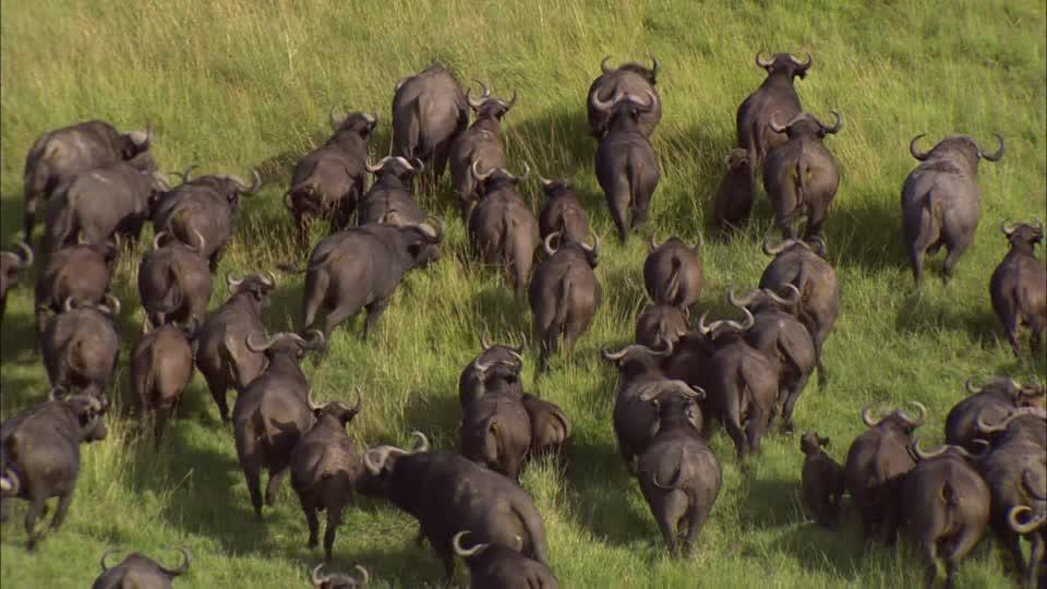 Troupeau de buffle de l'Inde en déplacement dans une prairie