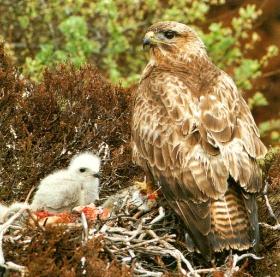 Buse variable et oisillon au nid