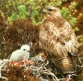 Buse variable et oisillon1