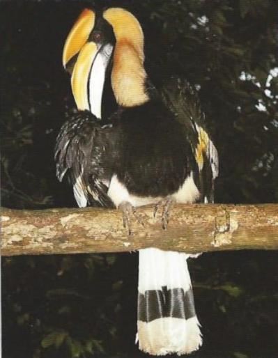 Calao bicorne posé sur branche, vu de dos, tête tourné
