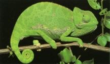Caméléon vert sur branche