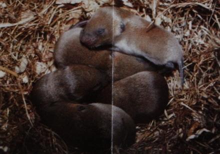 Campagnols roussâtre nouveaux-nés au nid.