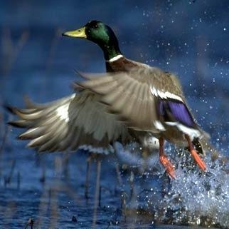 Canard colvert prend son envol, eau