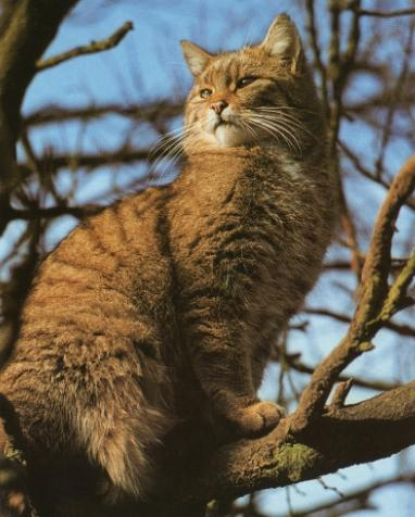 Chat sauvage europe1