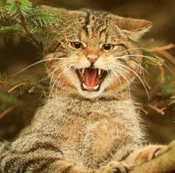 """Résultat de recherche d'images pour """"chat sauvage"""""""