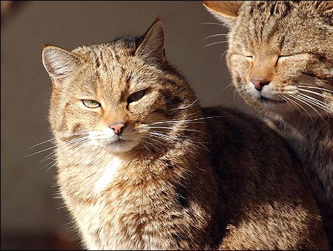 Deux chats sauvage