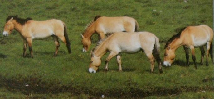 Harde chevaux Prjevalski