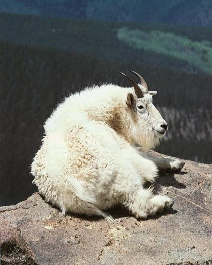 Chèvre des montagnes rocheuses allongé au bord d'une corniche