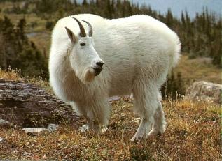 Chèvre des montagnes rocheuses cherche nourriture