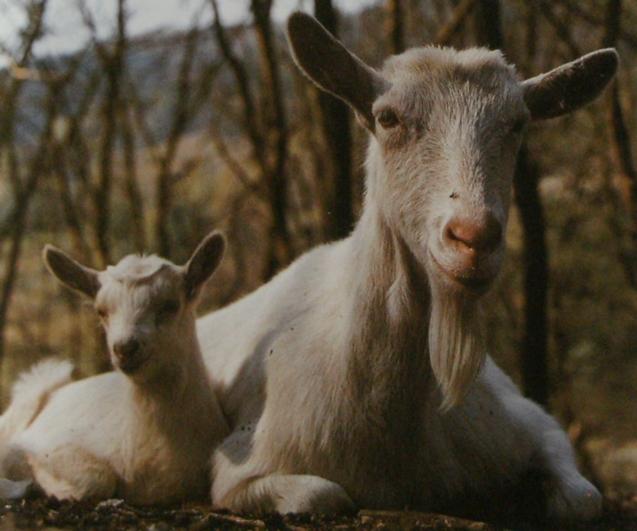 Chèvre Saanen et cabri au repos