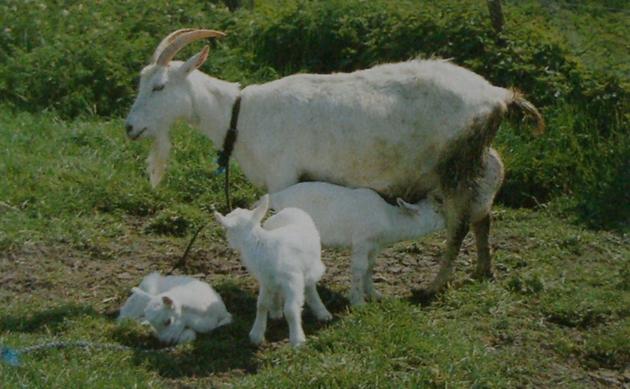 Chèvre Saanen et 3 cabris
