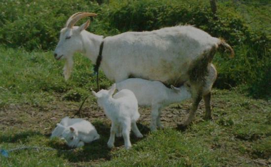 Chèvre Saanen et cabri2