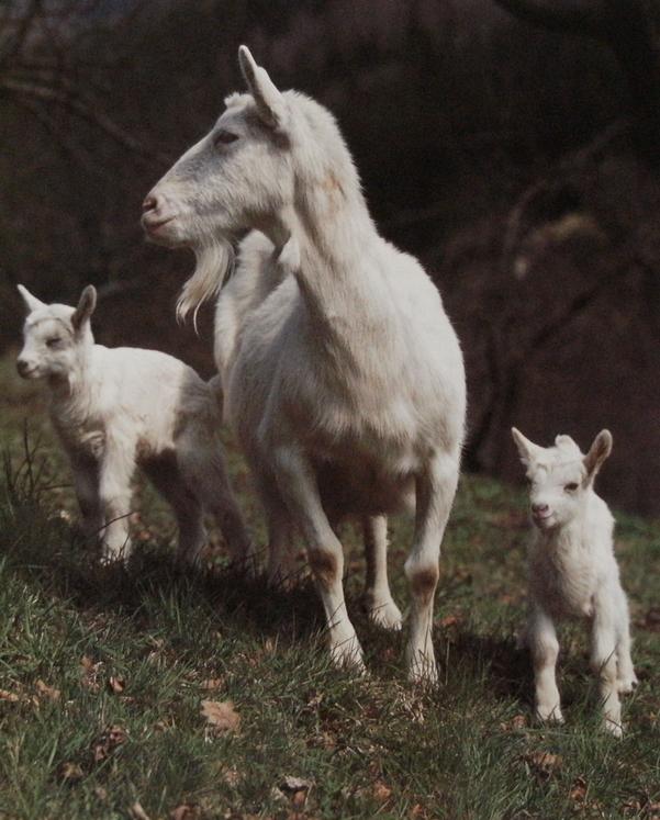 Chèvre Saanen et 2 cabris dans pré