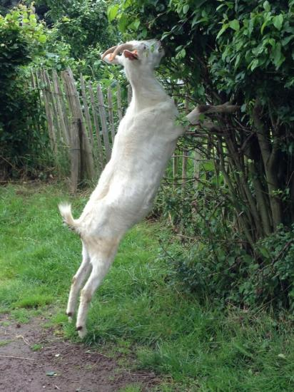 Chèvre Saanen4