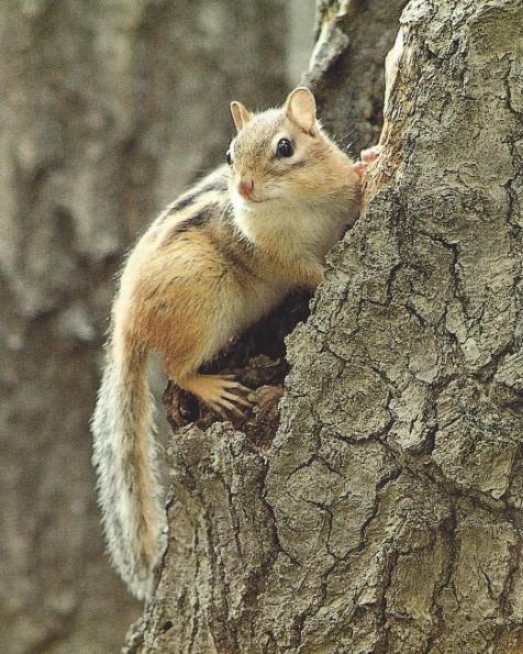 Chipmunk grimpant à un arbre, cavité
