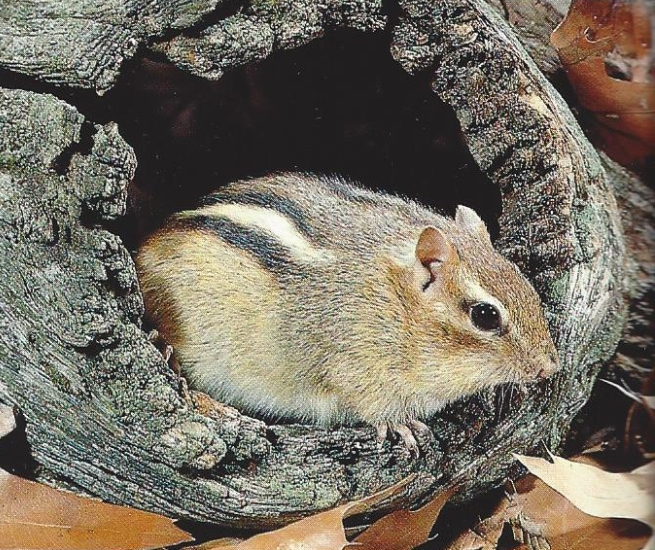 Chipmunk dans un tronc au sol