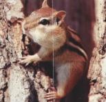 Chipmunk sur tronc, abajoues pleines