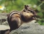 Chipmunk sur un rocher, mange