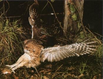 Chouette hulotte chasse, attrape souris