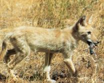Jeune coyote chasse