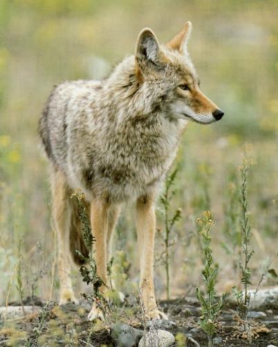 Coyote dans plaine, observe