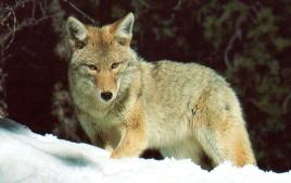Coyote dans neige