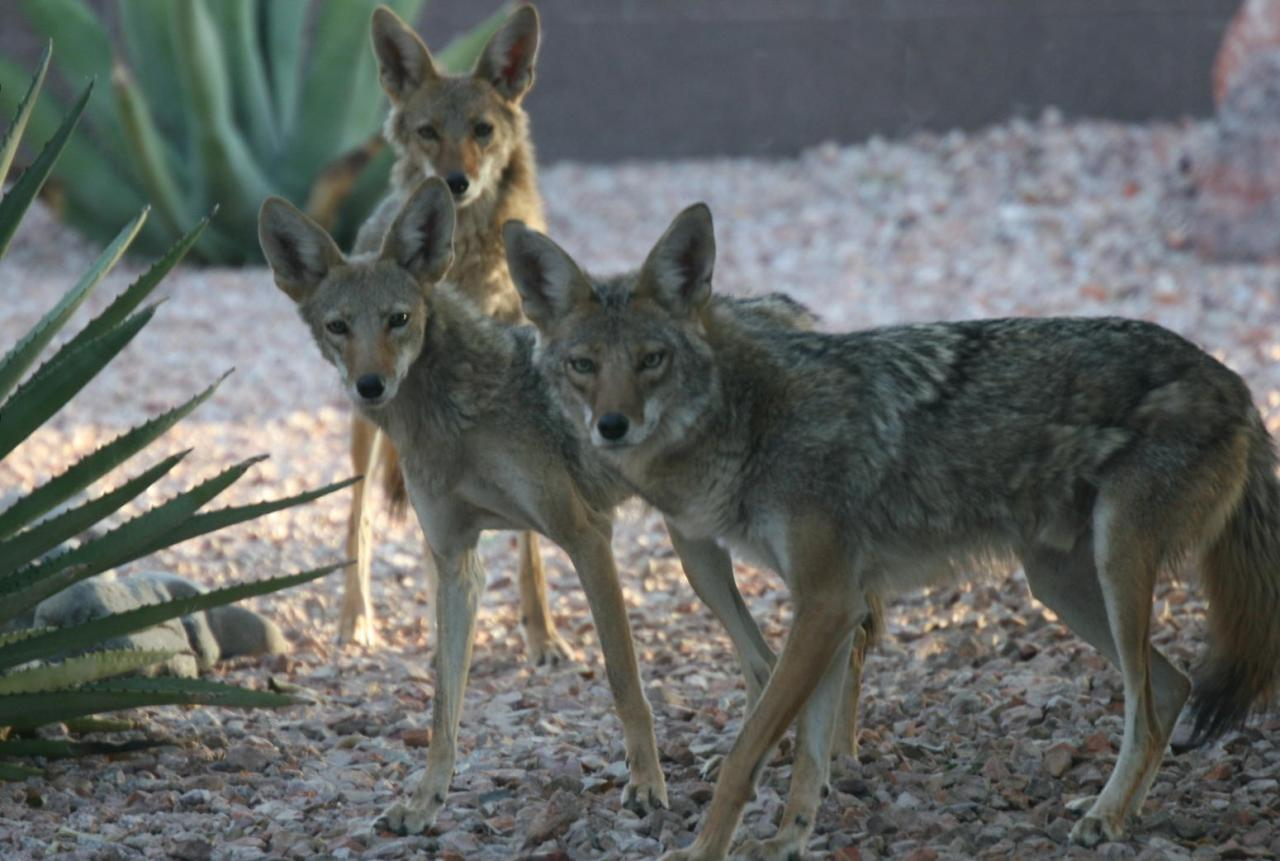 3 coyotes