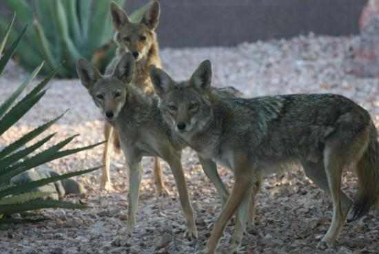 Coyotes2