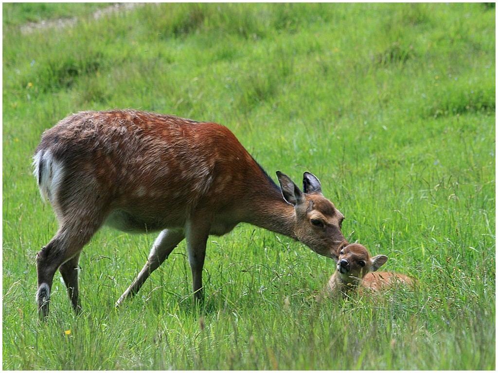 Daim femelle fait un calin à son faon