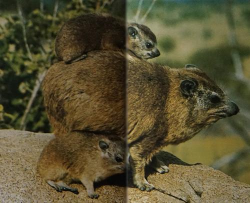 Femelle daman des rochers avec un petit sur son dos et le second à ses côtés