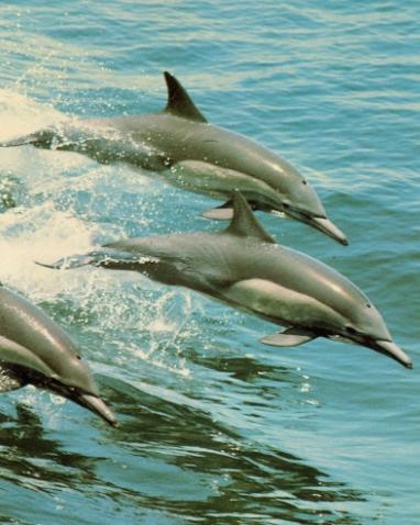 3 dauphins commun