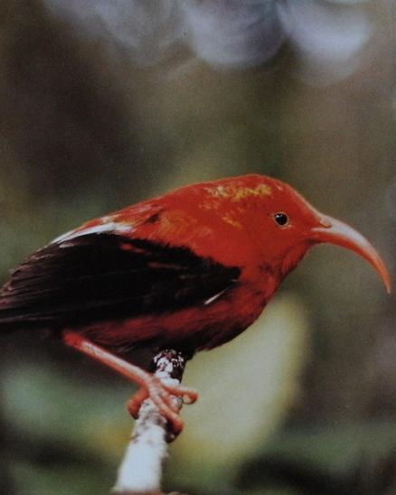 Drépanis hawai1