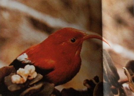 Drépanis d'Hawaï - Iiwi rouge posé sur une branche.