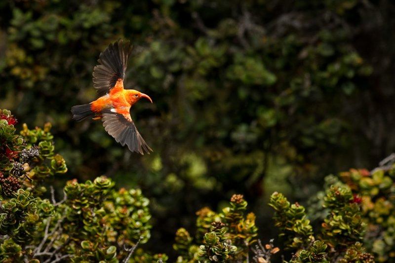 Drépanis d'Hawaï - Iiwi rouge en vol, entouré d'arbres.