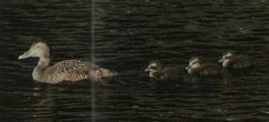 Eider à duvet femelle sur l'eau, suivit de ses 3 poussins.