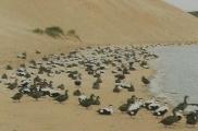Colonie d'eiders à duvet sur plage, bord de mer.