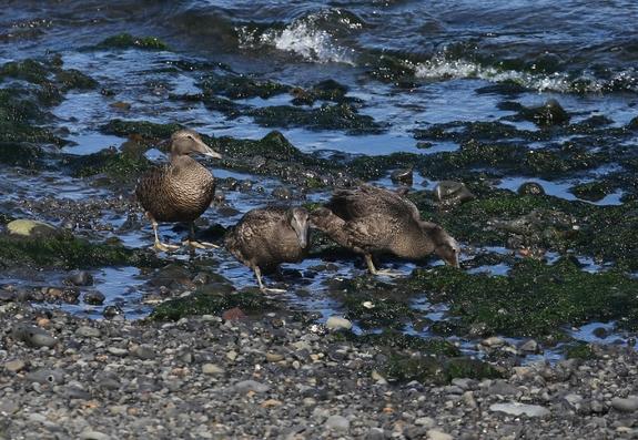 3 Eiders à duvet cherchant des mollusques à marée basse, algues.