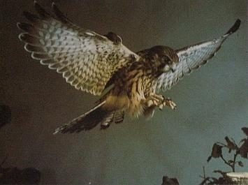 Faucon crécerelle entrain d'atterrir sur une souche