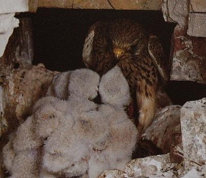 Femelle faucon crécerelle au nid avec poussins