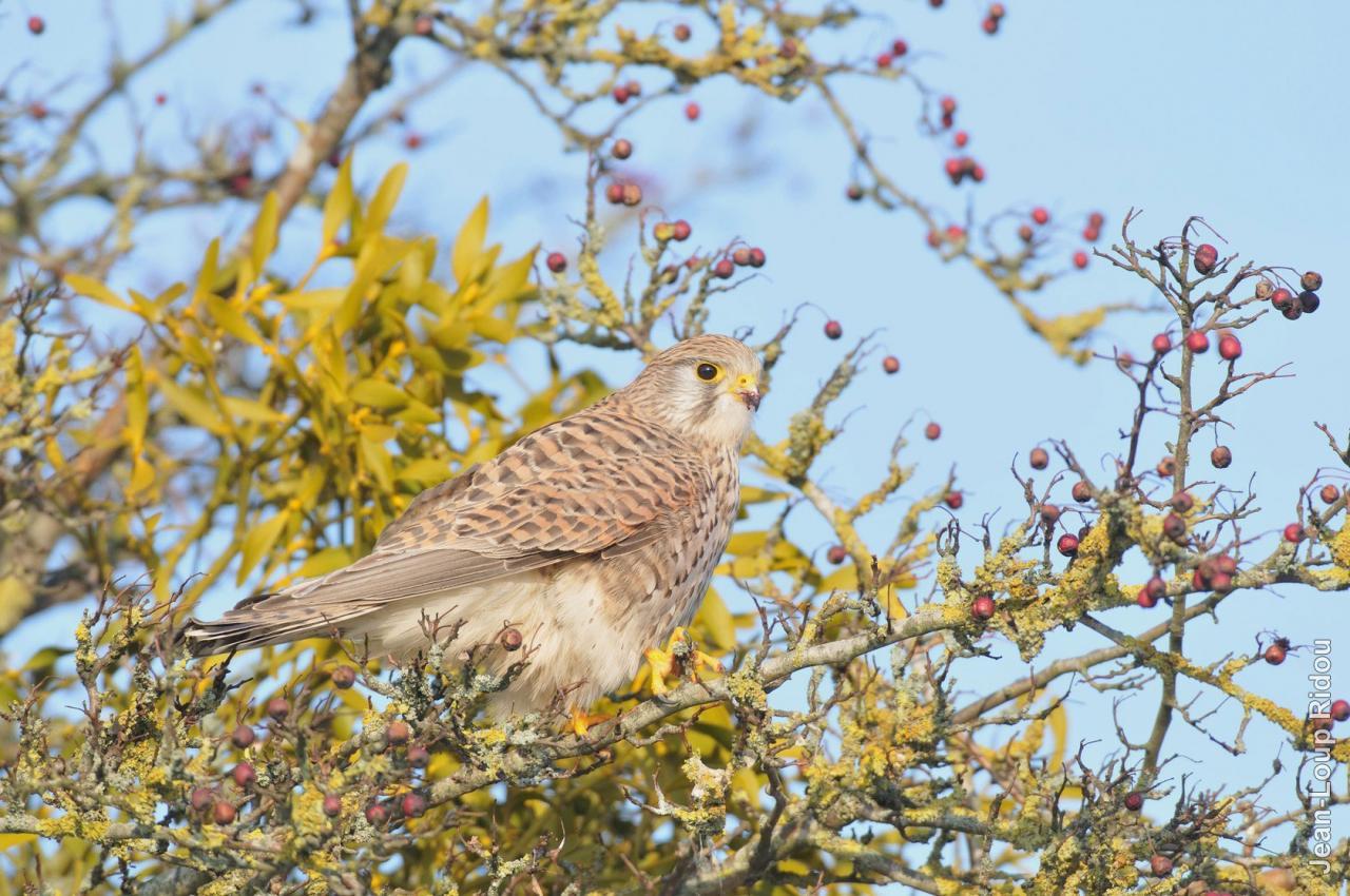 Faucon crécerelle femelle posé dans un arbre